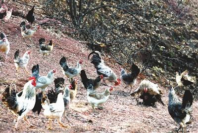 放养美女鲜花山头的鹊山鸡