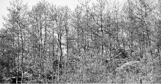 淳安面临40年来最大松毛虫害 千岛湖20万亩松林受灾
