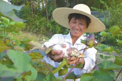 梅莲珍/这几天,白姆乡高坞村村民梅莲珍正在自家的菜地里摘棉花。